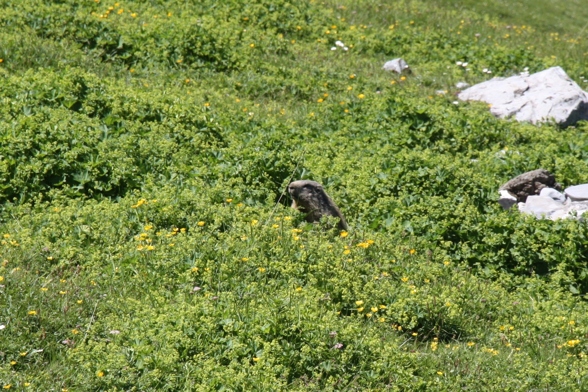 A marmot pokes it head out from among the alpine meadow flowers.